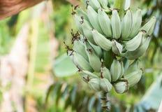 Банан в природе Стоковая Фотография
