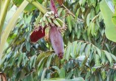 Банан в природе Стоковые Фото