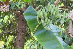 Банан в природе Стоковое фото RF