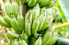 Банан в ферме банана стоковое изображение rf