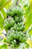 Банан в ферме банана стоковое фото rf