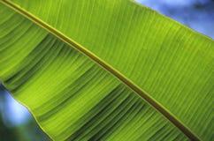 банан детализирует вал листьев Стоковые Фото