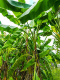 Банан дерева Стоковое фото RF