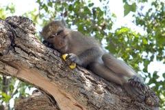 банан есть обезьяну Стоковые Фото