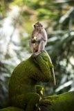 Банан есть обезьяну стоковая фотография rf
