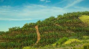 Банан и кофейная плантация Стоковая Фотография RF