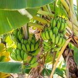 Банан на банановом дереве Стоковое Изображение RF