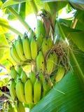 Банан на дереве 01 Стоковое Изображение RF