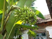 Банан пальца дамы, или малый банан Стоковое Фото