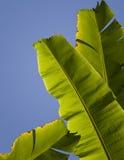 банан покидает пальма Стоковое Изображение