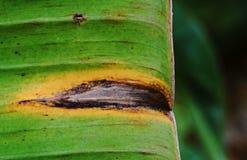 Банан покидает заболевание стоковые изображения