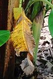 Банан покидает заболевание стоковое фото