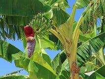 Банан постоянный с цветением и зелеными неполовозрелыми бананами стоковая фотография