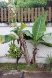 Банан растя вне сторона загородки. Стоковые Фотографии RF