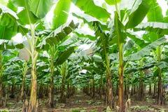 Банан сад растет вверх, свежий банан растет вверх, банан ga Стоковые Изображения
