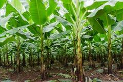 Банан сад растет вверх, свежий банан растет вверх, банан ga Стоковая Фотография