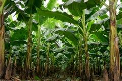 Банан сад растет вверх, свежий банан растет вверх, банан ga Стоковое Изображение RF