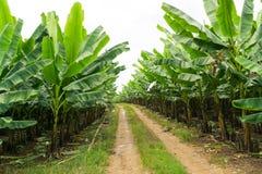 Банан сад растет вверх, свежий банан растет вверх, банан ga Стоковое фото RF