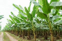 Банан сад растет вверх, свежий банан растет вверх, банан ga Стоковые Фотографии RF