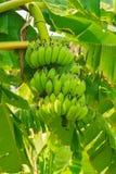 банан сырцовый Стоковое Изображение