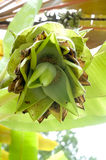 Банан с цветением Стоковые Изображения RF