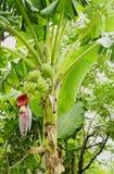 Банан с цветком банана Стоковая Фотография RF