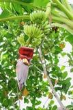 Банан с цветком банана Стоковое Изображение RF