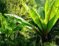 банан украшает вал сада Стоковая Фотография RF