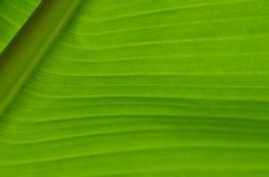 Банан Leaf-13 стоковые фотографии rf