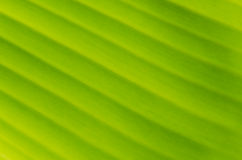 Банан Leaf-16 Стоковые Фотографии RF