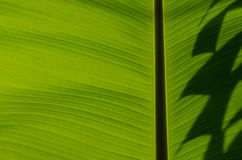 Банан Leaf-23 стоковая фотография rf