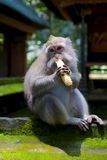 Банан Muncher Стоковое Изображение