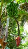 Банан - Musa - завод, плодоовощи, стержень, и цветок Стоковые Фото