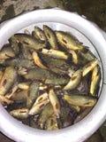 Бангладешские рыбы стоковое изображение rf