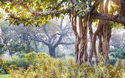 Баньян в Индии Стоковая Фотография RF