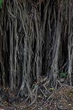 Баньян, корни стоковое изображение