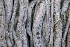 баньян предпосылки запутал лозы вала стоковое изображение