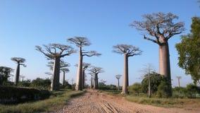 Баобабы. Мадагаскар Стоковое Изображение RF