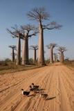 баобаб de Мадагаскар бульвара Стоковое Изображение