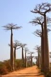 баобаб de Мадагаскар бульвара Стоковое Фото