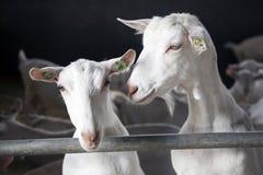 2 бара взгляда коз конюшни Стоковые Фото