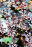 Барбарис Буша с голубыми, бургундскими листьями Стоковые Фото