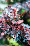 Барбарис Буша с листьями сини, бургундского и красного цвета Стоковые Фото