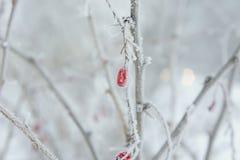 Барбарис в зиме заморозка Стоковые Изображения