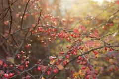 Барбарис в солнечном свете утра Стоковые Изображения RF