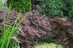 Барбарис с формой Thunberg барбариса листьев красной в предгорьях стоковая фотография rf