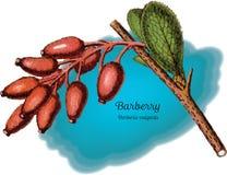 Барбарис 1 Стоковое Изображение
