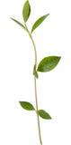 барвинок ветви зеленый Стоковая Фотография RF