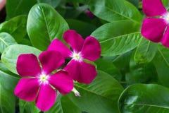 Барвинок цветков и листьев Стоковая Фотография RF