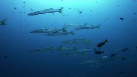 Барракуды с бычеглазым окунем Trevallies на коралловом рифе 4k акции видеоматериалы